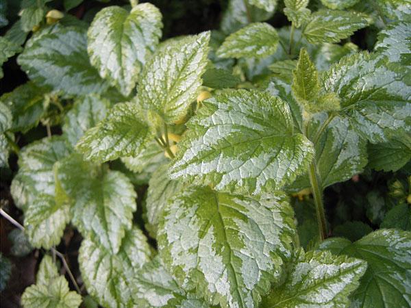 Blätter der Silberblättrigen Taubnessel