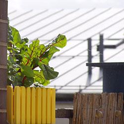 Mangold im Balkonkasten