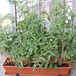 Tomaten im Balkonkasten