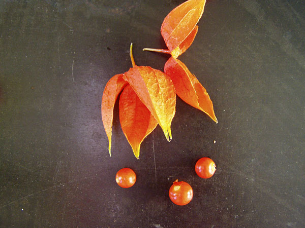 Früchte der Lampionblume (Physalis alkekengi)