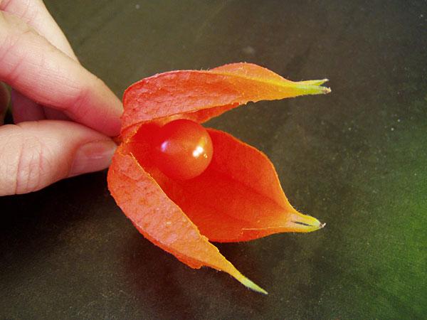 Physalis alkekengi (Lampionblume)
