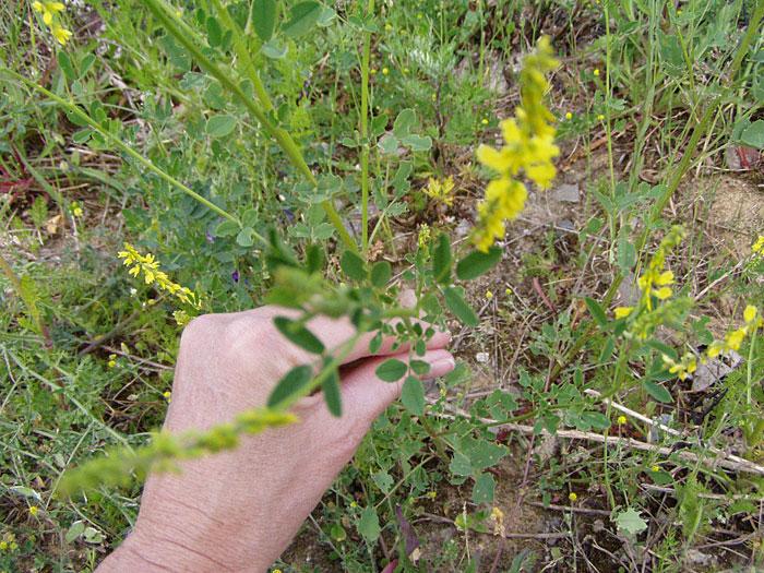 Blätter des gelben Steinklees
