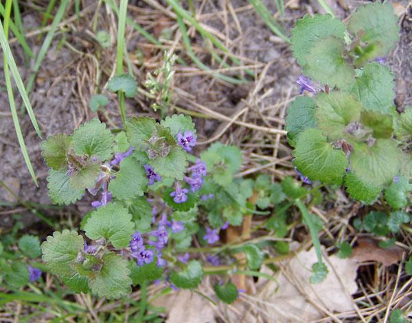 Gundermann / Gundelrebe – Blüten