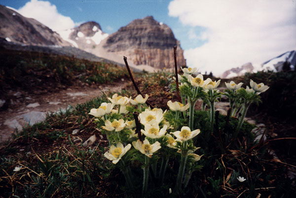 Rocky Mountains Wildblumen