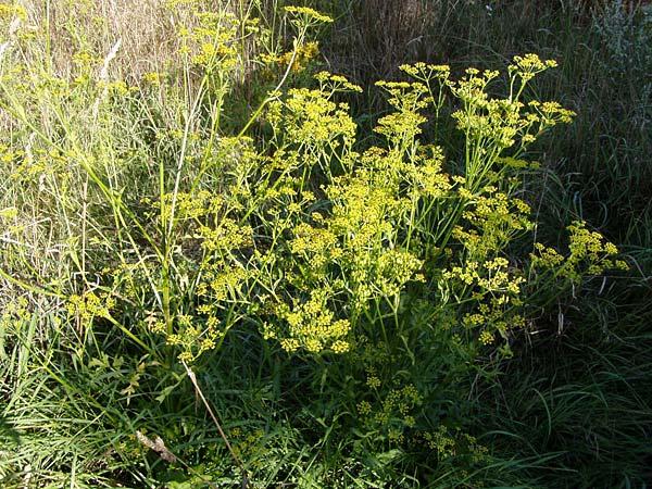 essbare Wildpflanze: Pastinak