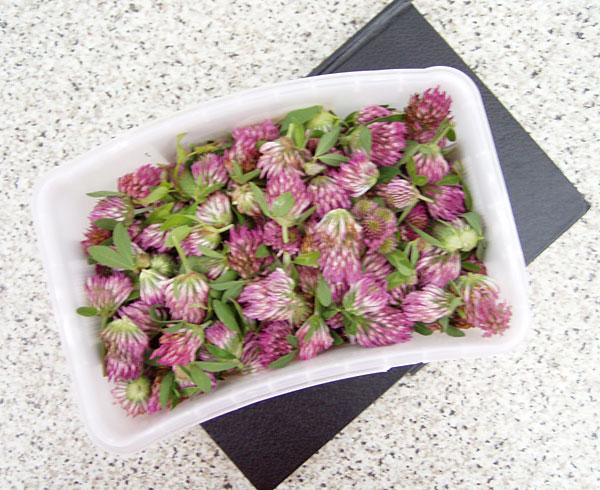 Rotklee-Blüten