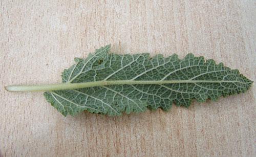Blattunterseite Wiesensalbei